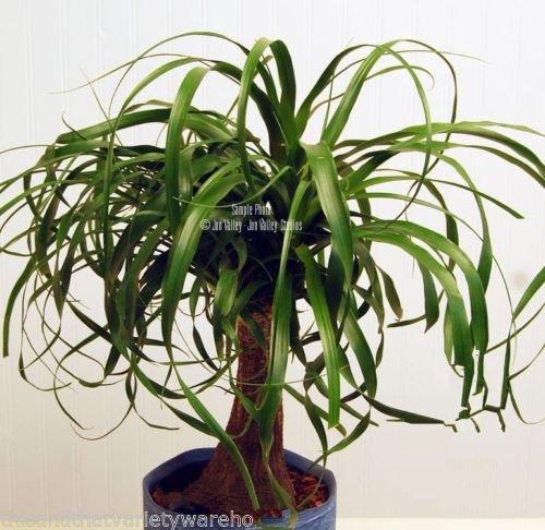 Beaucarnea Recurvata Ponytail Palm Seeds Succulent Houseplant Rock Garden Bonsai