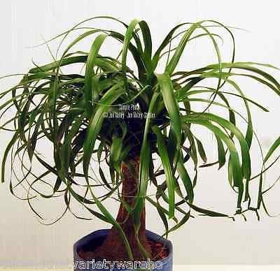 Beaucarnea recurvata Ponytail Palm 10 Seeds Succulent Houseplant Rock Garden Bonsai