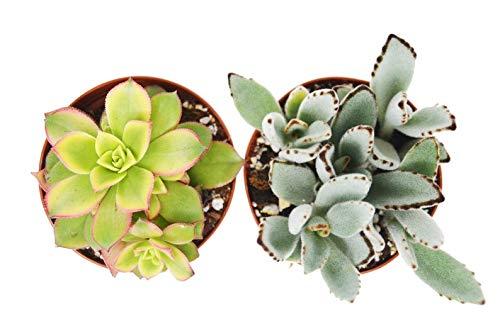 2 Elegant Succulent Variety Pack 4 Pot