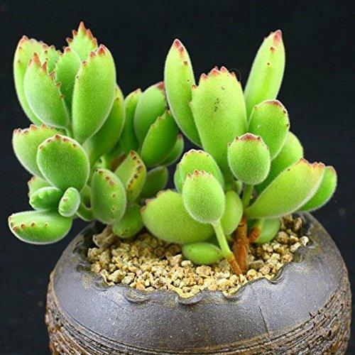 150pcs Cotyledon Tomentosa Seeds Garden Succulent Plants Potting