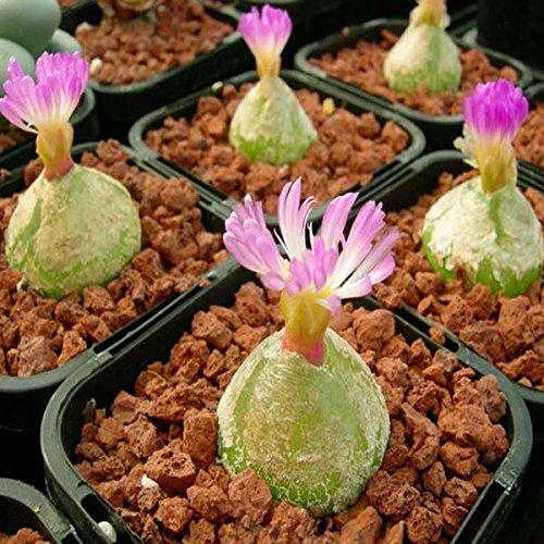 40pcs Conophytum Burgeri Seeds Succulent Plants Potting  40pcs Conophytum Semillas Burgeri Plantas Suculentas
