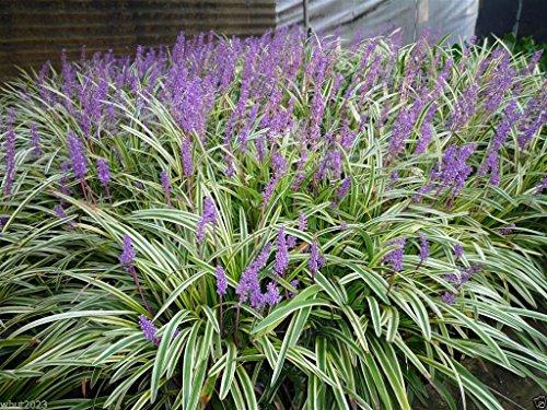 10 Monkey Grass Seed - Lily Turf - Liriope Muscari - Ornamental Shade Perennial