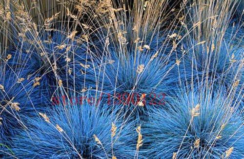 100 Pcs Blue Fescue Fesnea Glauca Ornamental Grass Perennial Hardy Ornamental Beautiful Grass 2015 New Seeds For