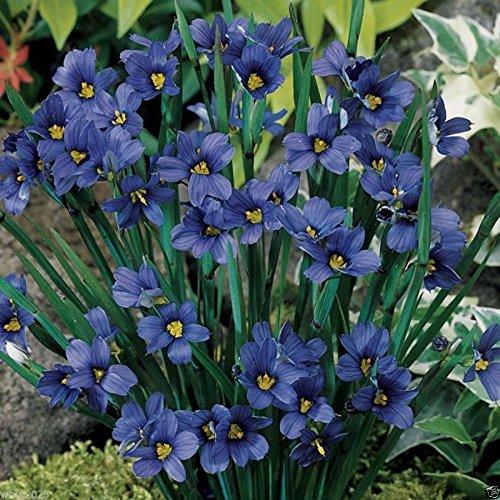 100 Seeds - Blue eyed Grass - Sisyrinchium bellum-Perennial Ornamental Grass