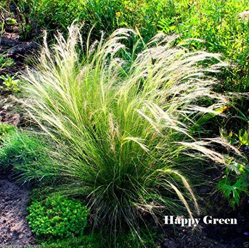 FEATHER GRASS - 10 seeds - Stipa Pennata - PERENNIAL ORNAMENTAL GRASS