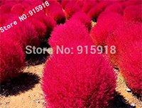 Grass Seeds Perennial 100pcs Grass Burning Bush Kochia Scoparia Seeds Red Garden Ornamental Easy Grow