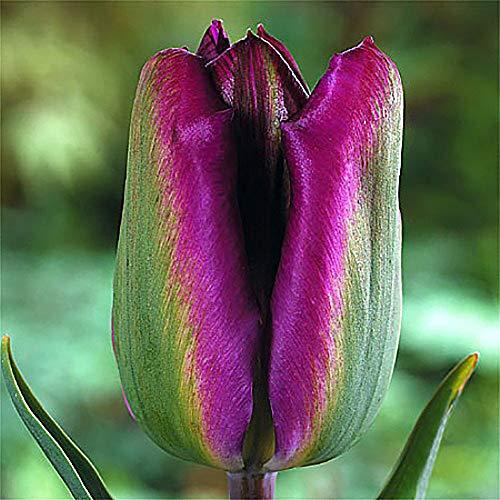 Nightrider Viridiflora Tulip - 8 Bulbs - 12cm Bulbs - BluePurpleGrass-Green