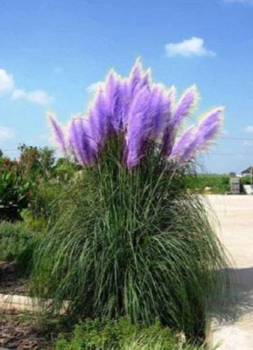 500 Rare Purple Pampas Grass Seeds Ornamental Plant Flowers Cortaderia Selloana