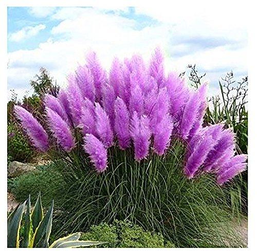 Beautiful Seeds  new Rare Purple Pampas Grass Seeds Ornamental Plant Flowers Cortaderia Selloana Grass Seeds