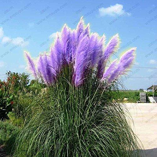 Purple Pampas Grass Seeds Ornamental Plant Flowers Cortaderia Selloana Grass Seeds 500 Pieces  Lot