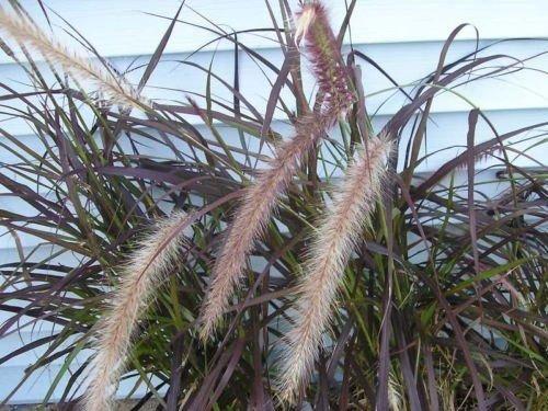 300 PURPLE FOUNTAIN GRASS SEEDS ORNAMENTAL GRASS SEEDLINGS ROCK GARDEN