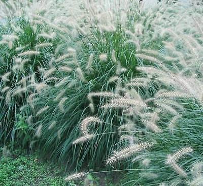 Fountain Grass Pennisetum Alopecuroides Ornamental Fall Accent 20 Seeds