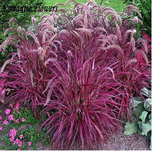 Mrseeds-half-hardy Perennial Fountain Grass Pennisetum Setaceum Fireworks Seeds  50 Seeds  Bag Pennisetum