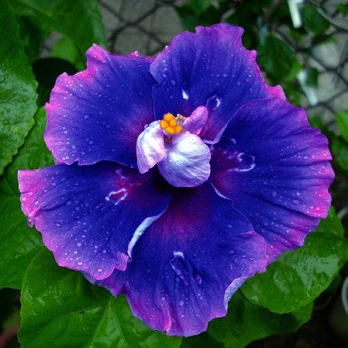 10 Dinnerplate Hibiscus Milkyway Perennial Flower Seed Easy To Grow Huge 10-12 Inch Flowers