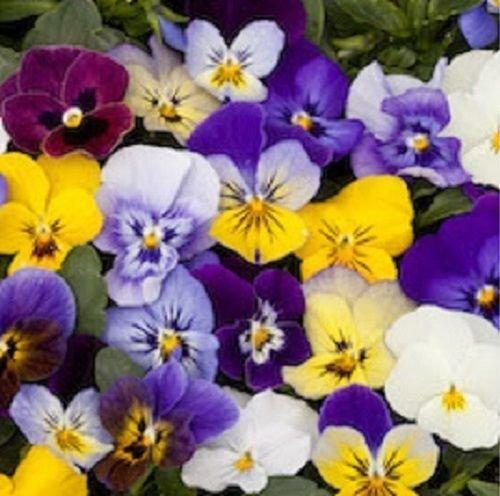35 BEL VISO VIOLA FLOWER SEED MIX  SHADE LOVING PERENNIAL