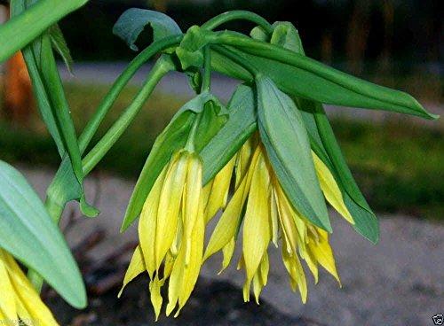 Fairybells  Bellwort Uvularia grandiflora Shade loving Perennial -10 Seeds