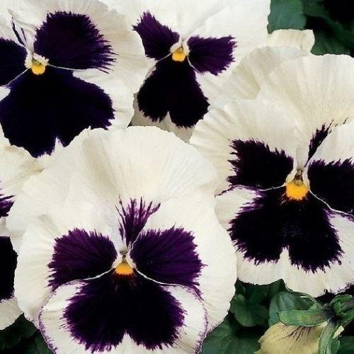 WhitePurple Swiss Giant Viola Wittrock flower Seeds Shade Loving Perennial