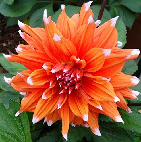2 Spectacular Flowering Perennials Striped Duo Orange White Flowering Dahlia Bulb Plant Flower