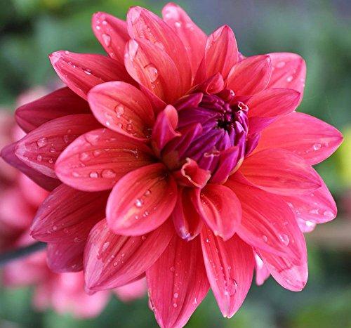 4 Spectacular Flowering Perennials American Dream Beautiful Flowering Dahlia Bulbs Plants Flowers