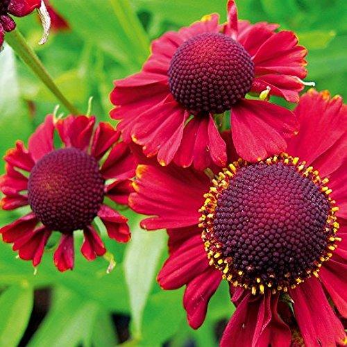 Beautiful Flowering Perennial Helenium Red Jewel 20 Seeds