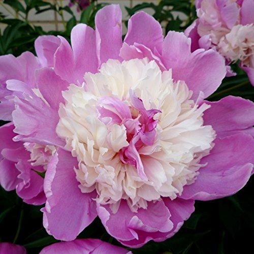 Elegant Flowering Perennials- Peony Emily Debatene Nice Size Roots Plant Beautiful Flowers