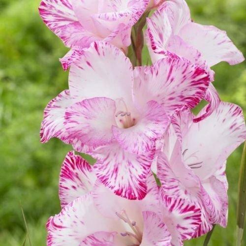 Gladiolus bulbsMy Love 10 Bulbs Summer flowering Perennial