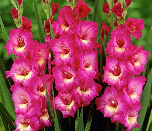 Pink Beauty Mixed Gladioli 3 Beautiful Flowering Perennials Sword Lily Gladiolus Bulbs
