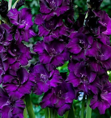 Purple Mate Gladioli 5 Beautiful Flowering Perennials Sword Lily Gladiolus Bulbs