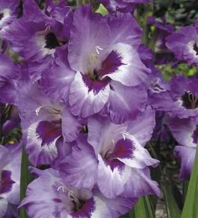 Purple Passion Mixed Gladioli 5 Beautiful Flowering Perennials-Sale- Sword Lily Gladiolus Bulbs