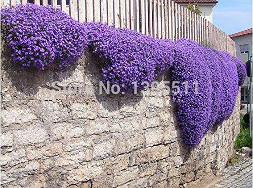 100rock Cressaubrieta Cascade Purple Flower Seeds Deer Resistant Superb Perennial Ground Coverflower Seeds for Home Garden