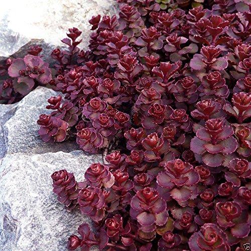 200 Sedum voodoo seedsPerennial Groundcover  Rock GardenStonecrop