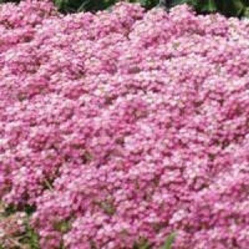 60 PINK SWEET FRAGRANT ALYSSUM FLOWER SEED PERENNIAL  GROUND COVER
