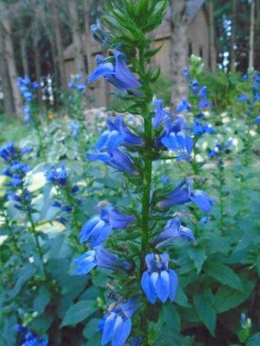 BLUE LOBELIA Rare Deep-Blue Perennial Flower Hardy Reliable 200 Seeds