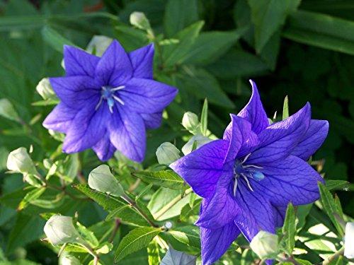 Balloon Flower Seeds - ASTRA SEMI-DOUBLE BLUE - Perennial Dwarf Balloon-10 Seeds