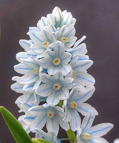 Blue Stripe Squill 5 Bulb Blue Perennial Bulb