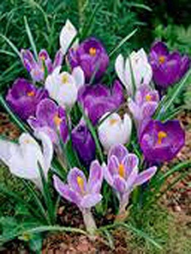 Crocus Bulbs 10 Pack Mix Purple White Perennial Crocus Bulbs Blue White Caps