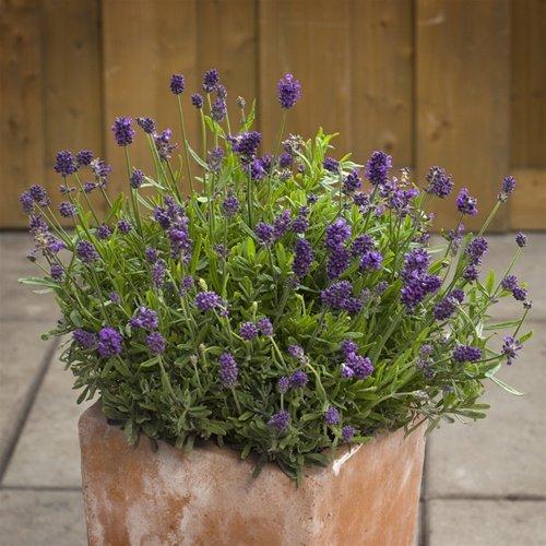 Heirloom 10 Lavender Mini Blue Perennial Flower Seeds
