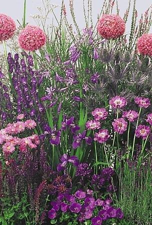 Low Blue Perennial Garden 50 SeedsSeed
