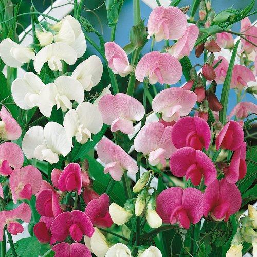 asp~&quoteverlasting&quot Sweet Pea~seeds~~~~~~~~~~~~perennial Gems
