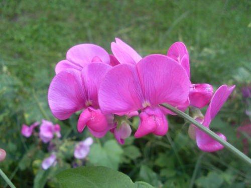sweet Pea Everlasting Perennial Flower Pink White Mix 10 Fresh Seeds Groco