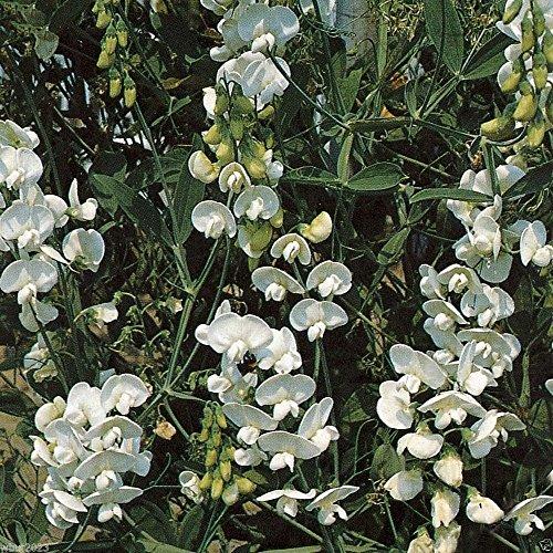 Perennial Sweet Pea - Pearl White - Lathyrus latifolius ~30 Seeds~