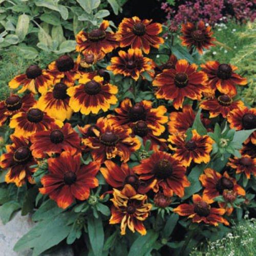 Toto Rustic Rudbeckia 30 Seeds Great Full Sun Perennial