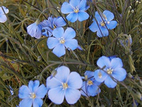 flax blue SUN PERENNIAL flower 240 seeds GroCo