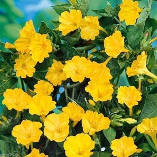 100 Seeds - Four OClocks Flowers Mirabilis Jalapa-Yellow Perennial