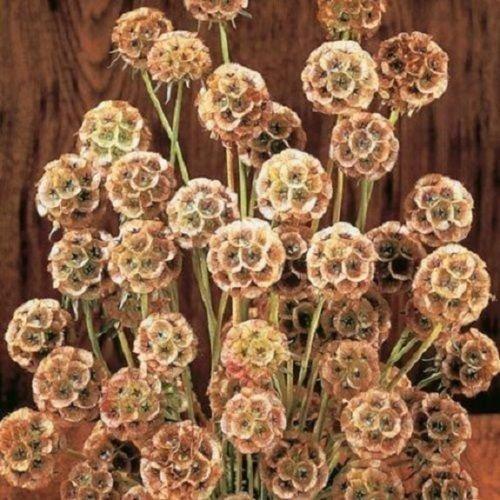 Fata Morgana Pincushion Scabiosa Pinkish Yellow  Perennial Flower Seeds