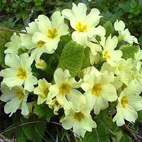 Primrose Seeds - Yellow- Perennial Great Pot Plant-10 Seeds