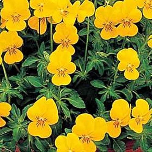 Viola Cornuta Perfection Yellow Perennial Seeds