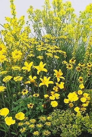 Yellow Perennial Garden 50 SeedsSeed - Tall