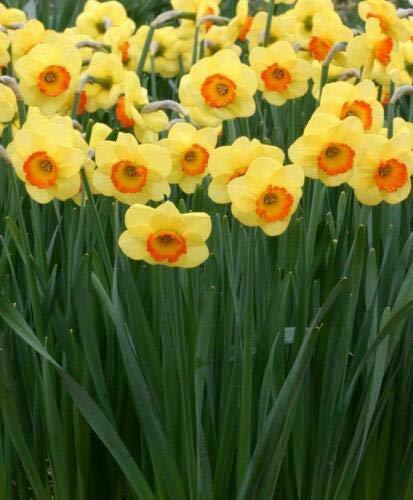 Cutdek 10 Bulb Narcissus Bantam Double Daffodil Bulbs Deer Resistant Hardy Perennial Plants