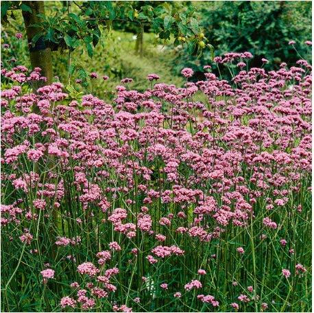 Seed House-KOUYE 100 Seeds Verbena Seeds Groundcover Ornamental Grass Hardy Perennial Plants Flower Seeds Perennial Border